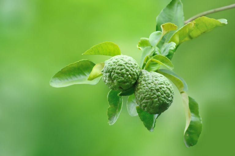 Makrut limes